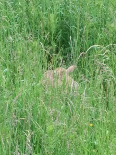 Newborn deer in the grass outside the bunkhouse