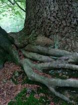 Amazing beech roots